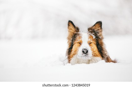 Portrait of a funny red dog on a walk in the winter forest. The dog sits in a snowdrift and blinks. On her face a lot of snowflakes. Border Collie.
