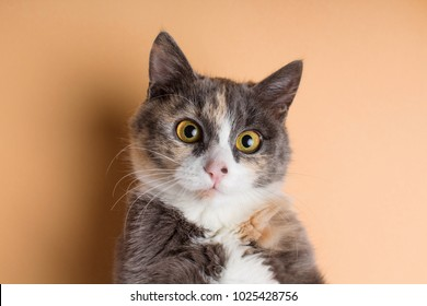 portrait of a funny scared cat with large brown eyes, an ashy domestic pet on a studio background