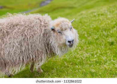 Portrait of Funny sheep, Smiling sheep, Faroe Islands