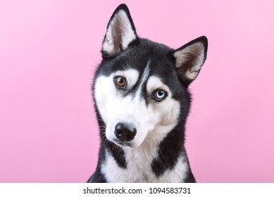 Portrait of a funny siberian husky dog with lazy-eyes on a pink studio background, concept of dog emotions
