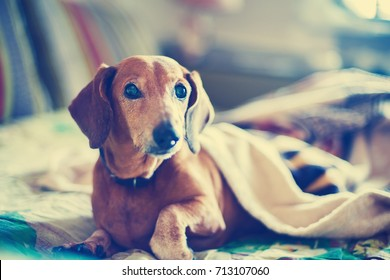 Portrait of funny small dog that is lying on the bed under the blanket and looking closely at camera on blurred background.