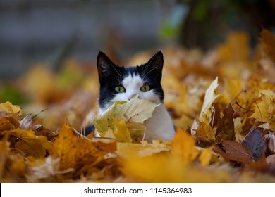 Portrait of a funny white and black domestic cat surrounded by yellow-brown maple leaves in autumn, one of them is covering his nose and he looks a little bit boss-eyed and hiding like a spy