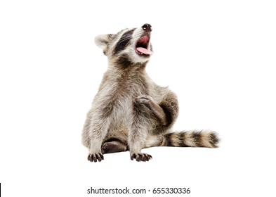 Portrait of funny yawning raccoon, sitting isolated on white background