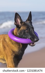 The portrait of a funny young Belgian Shepherd Malinois dog posing outdoors holding a puller ring toy in its mouth