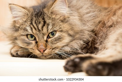 Portrait of a furry cat Maine Coon