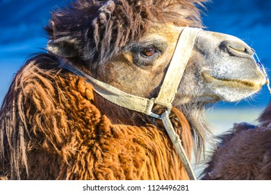 Portrait of a furry double humped camel at the cold desert of Leh in Nubra valley region in Jammu & Kashmir state of India.