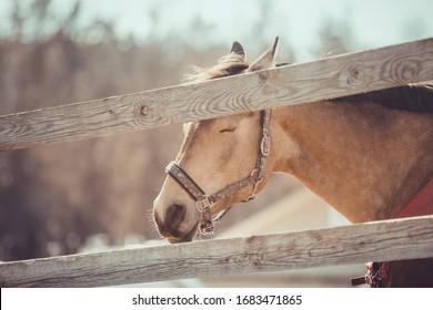 portrait of gelding horse in halter sleeping in paddock in daytime