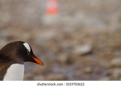 portrait of a gentoo penguin, antarctic peninsula, Antartica