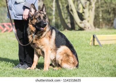 Portrait of an german sheperd dog living in belgium
