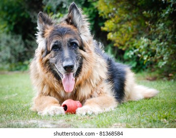 Portrait of a German Shepherd Alsatian Dog with toy