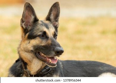 Portrait of a German Shepherd composed with room on right for text or graphic.