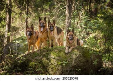 Portrait of a German Shepherd dog.