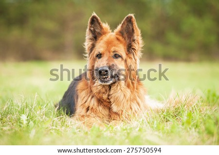 Portrait German Shepherd Dog Funny Face Stock Photo Edit Now