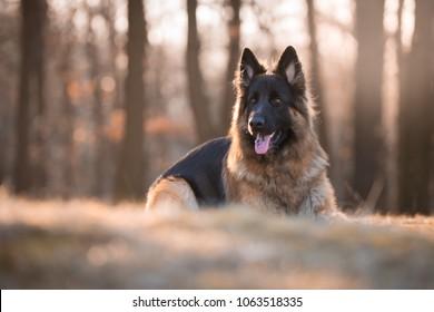 Portrait of german shepherd dog in spring morning sun