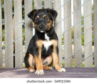 Portrait of a German Shepherd mix puppy sitting on a wood deck next to a fence with wood slats through looking slightly to viewers left.
