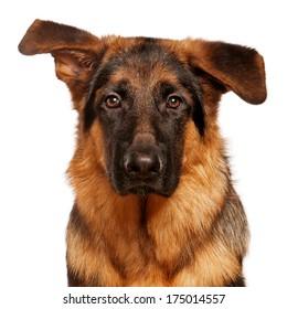 Portrait of German Shepherd puppy, 5 months old