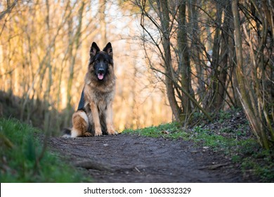 Portrait of german shepherd in spring morning sun