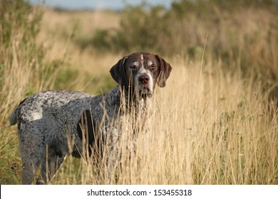 Portrait of a German Shorthaired Pointer walking in the grass