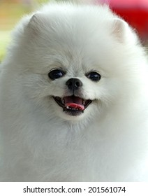 Portrait of a German Spitz at the Dog