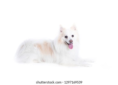 portrait of a German, white and beige spitz, lying down and in profile looking at the camera