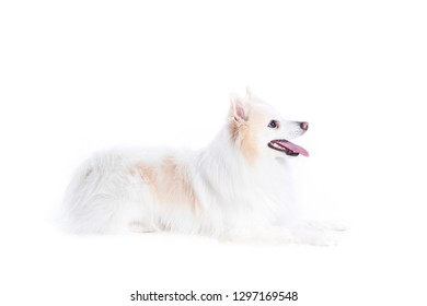 portrait of a German, white and beige spitz, lying down and in profile