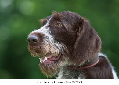 portrait of german wirehaired pointer on blurred background