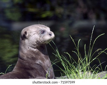Portrait of a Giant Otter