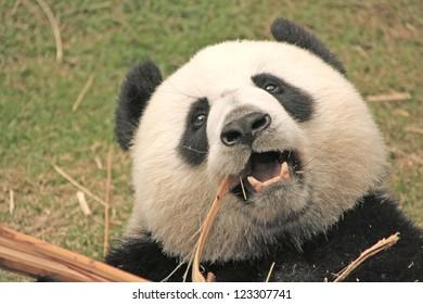 Portrait of giant panda bear (Ailuropoda Melanoleuca) eating bamboo, China