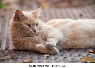 portrait of ginger angora cat lying in outdoor  looking away in the street