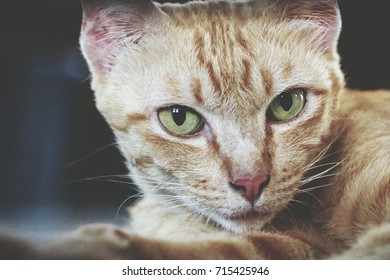 A portrait of a ginger cat looking at the camera with willful eyes