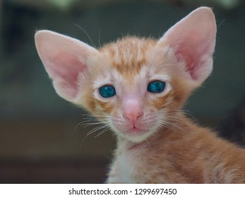Kitten with Big Ears Images, Stock Photos \u0026 Vectors