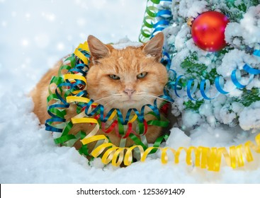 Portrait of a ginger shorthair cat entangled in colorful streamer. Cat walking in the snow outdoor near fir tree.