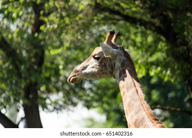 Portrait of a giraffe in the background of trees