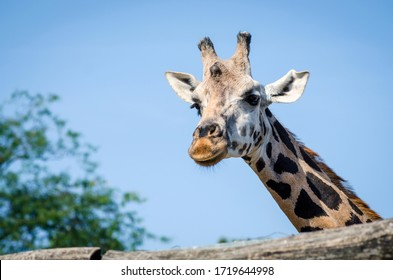Portrait of giraffe behind a wooden fence in a zoo