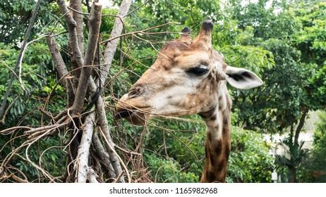 Portrait of giraffe eating  in nature