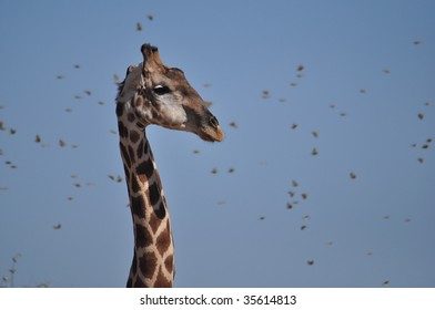 Portrait of giraffe with flock of weavers