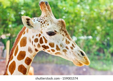 Portrait of a giraffe, focus on eye and face with blurred background.