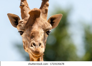 portrait of a giraffe in front of some green trees