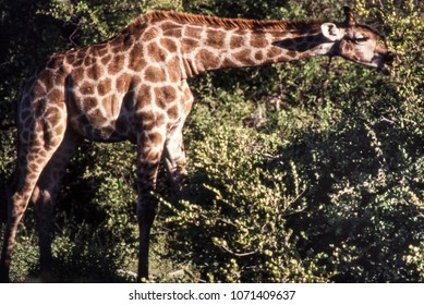 Portrait of a  giraffe (Giraffa camelopardalis) Etosha national park, Namibia, africa