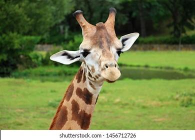 portrait of giraffe on green nature background