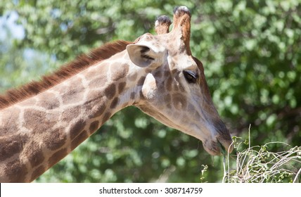portrait of giraffe on nature