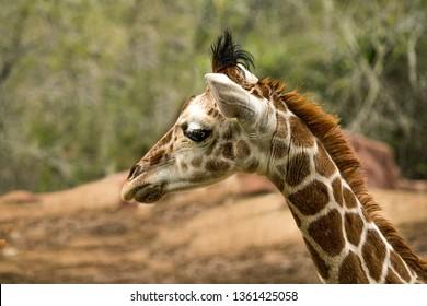 Portrait of a Giraffe in Profile at the zoo
