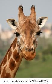 Portrait of giraffe in a Zoo