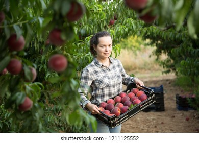 Portrait of girl horticulturist holding crate with  peaches in garden