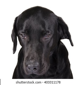 Portrait of a gloomy black Labrador as a gloomy dog concept (isolated on white), selective focus on the dog eyes