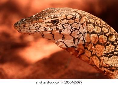 A portrait of a Goanna, or Monitor Lizard (genus: Varanus)
