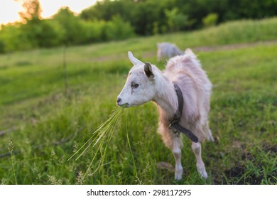 Portrait of a goat eating a grass on green meadow