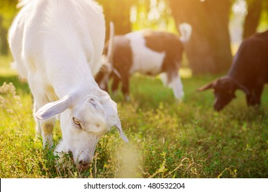 Portrait of a goat eating grass on a field