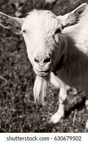 Portrait of a goat . Farm animals. Goat`s milk is good for health. Bearded goat