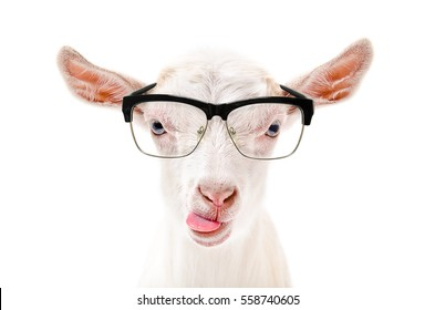Portrait of a goat in glasses showing tongue, isolated on white background
